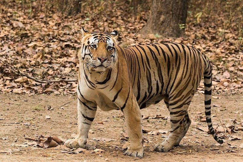 Is 'sher' (शेर) a lion or a tiger? - Quora