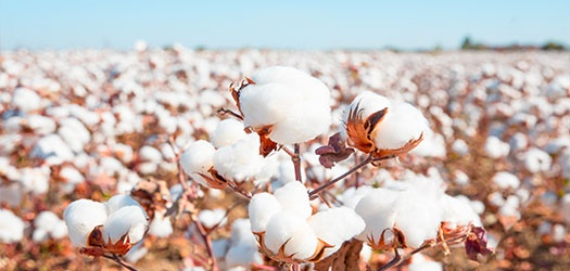 How can one export cotton from India to China? - Quora