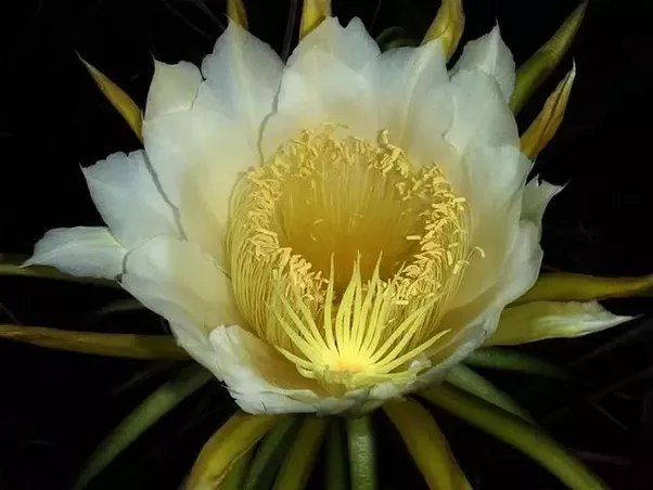Why do flowers bloom at night quora night blooming cereus hylocereus undatus and others is a classic night blooming species flowers open at night and are wilted by dawn flowers are white mightylinksfo