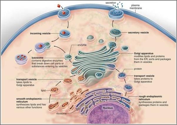 endoplasmic reticulum and golgi bodies relationship poems