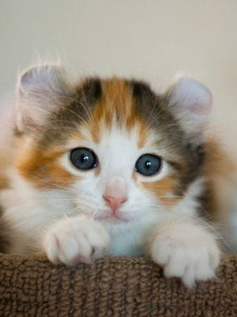 Can Calico Cats Ever Be Male