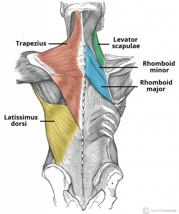 What is the purpose of the spikes on the back of the spine? - Quora