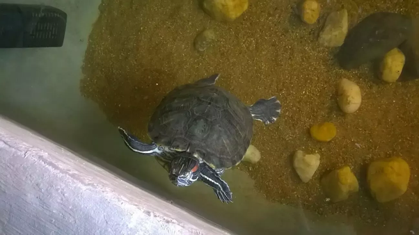 Is it illegal to have a turtle as a pet in India? If not, how is the