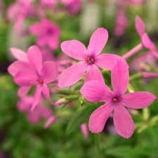 What is this house plant with pink flowers 5 petaled flowers that the house plant with pink flowers 5 petaled flowers that each have a long tube below the flower is called creeping phlox or phlox crackerjack mightylinksfo