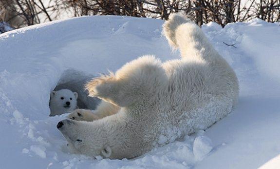 how do polar bears choose their hole for winter quora. Black Bedroom Furniture Sets. Home Design Ideas