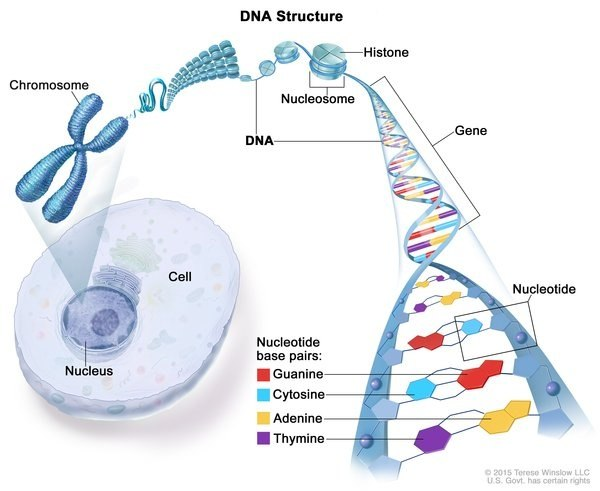 Where is dna found in a cell one word answer quora of dna can also be found in the mitochondria where it is called mitochondrial dna or mtdna the information in dna is stored as a code made up of four ccuart Gallery