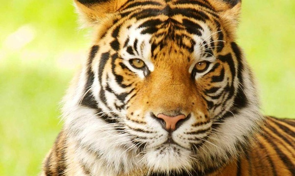 How powerful is a tiger? - Quora