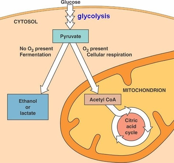 Mitochondria diagram cellular respiration pyruvate introduction to what is pyruvate and what is its importance in cellular respiration rh quora com photosynthesis and cellular respiration comparison photosynthesis and ccuart Image collections