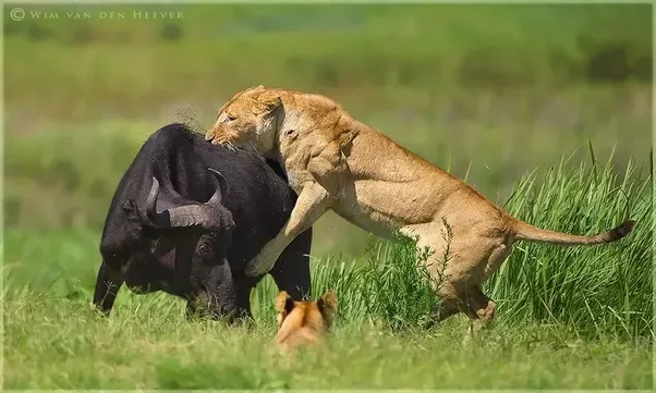 Is it true a gorilla would win a fight against a lion? - Quora
