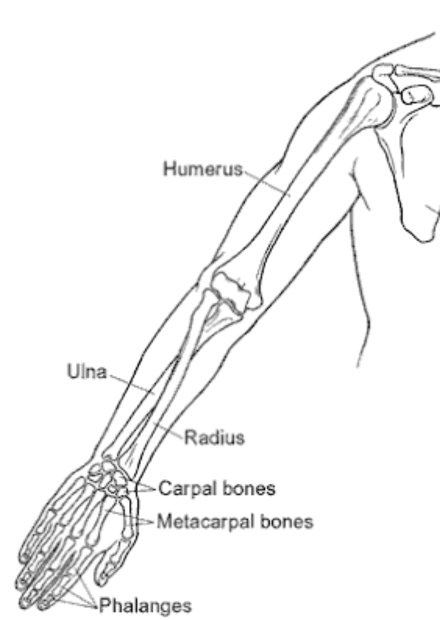 How Many Bones Are In A Human Hand Quora