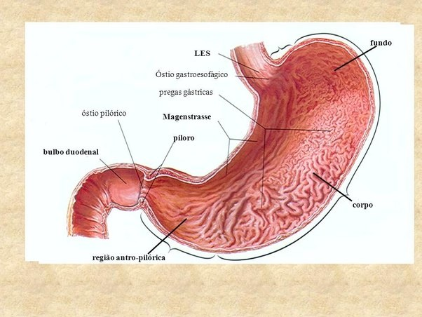 Digestion How Long Does Water Stay In Stomach Quora