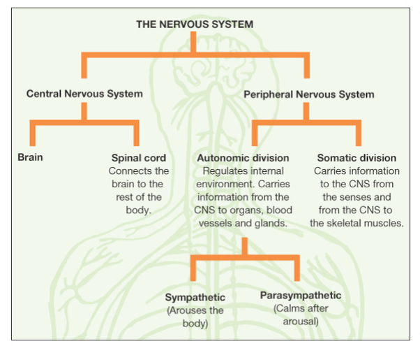 How is the nervous system organized quora this chart summarizes the organization of the nervous system ccuart Gallery