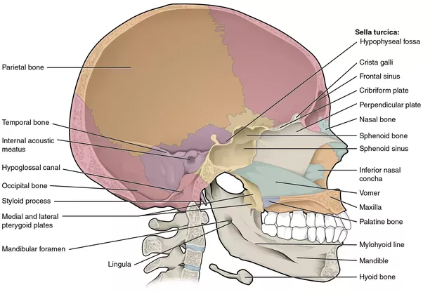 What bones are the ones that make up the hard palate? - Quora