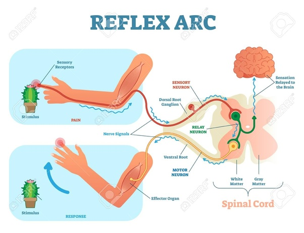 Reflex Arc Is The Nerve Pathway Involved In A Action Including At Its Simplest Sensory And Motor With Synapse Between