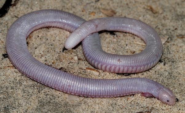 Mexican worm lizard (Bipes biporus).