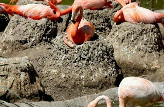 Flamingo nest - photo#30