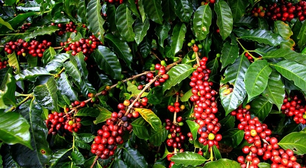 what type of coffee bean is grown in malaysia