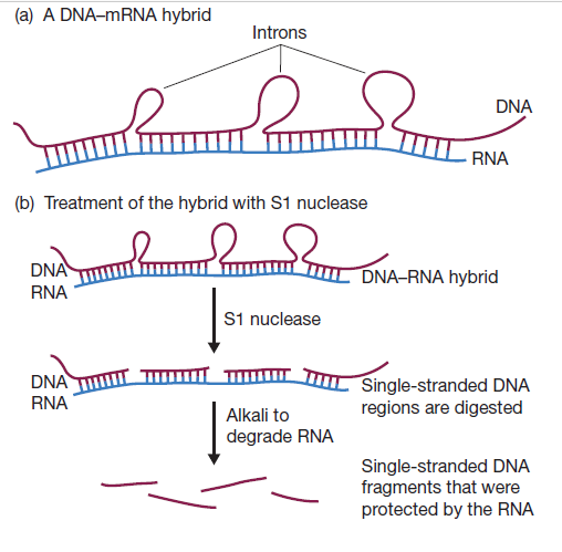 How is transcript mapping by hybridization between gene and ... S Nuclease Mapping on