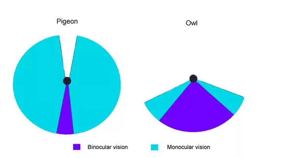Do birds have a blind spot in front of them quora owls have a field of vision pretty similar to humans their eyes point forward and most of the stuff in front of them they can see with two eyes ccuart Images