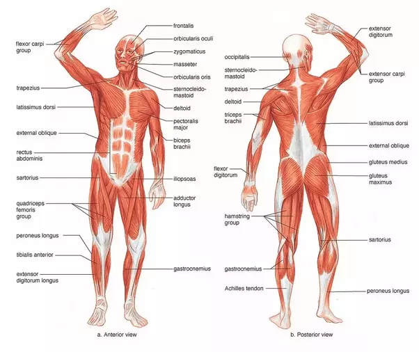 What Are Some Tips For Drawing Anatomy For Beginners Quora