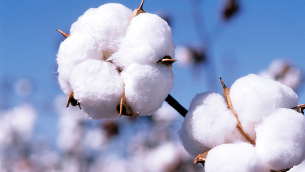 What are famous cotton export companies in India? - Quora
