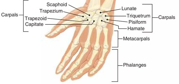 What Is The Main Function Of Bones In The Human Wrist Quora
