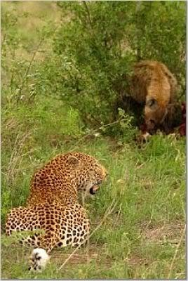 Can a male African leopard kill a female spotted hyena in