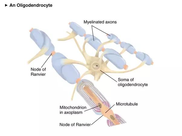 relationship of iron to oligodendrocytes and myelination