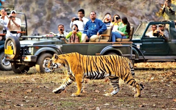 Have you ever seen a tiger in Jim Corbett? - Quora