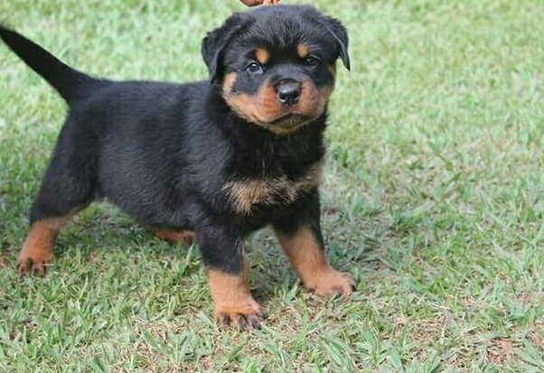 What Does A 3 Months Old Rottweiler Look Like Quora