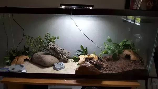 How Often Should You Clean A Leopard Gecko S Cage Quora