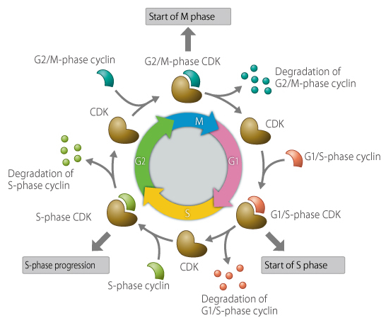 What Roles Do Cdks Play In A Cell Quora