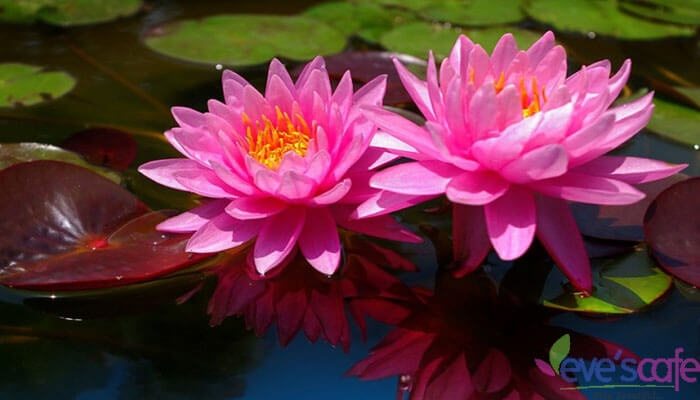 Who Decided That The Lotus Was To Be The National Flower Of India
