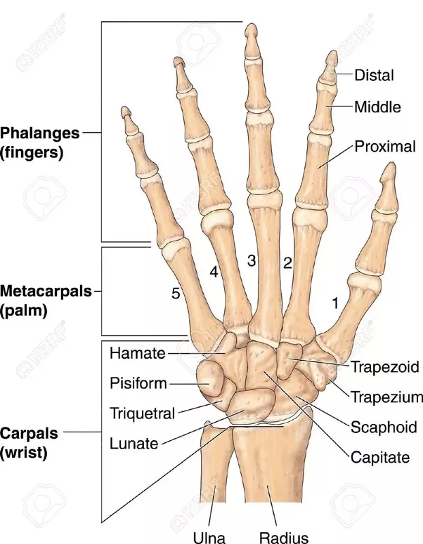 phalanges together with metacarpals