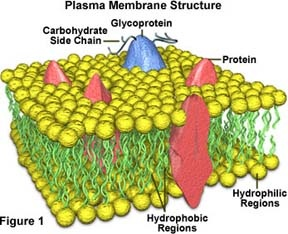 what is the main function of the plasma membrane
