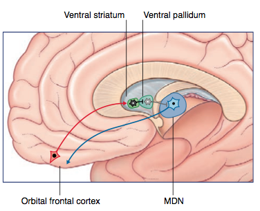 How is the basal ganglia connected to the prefrontal cortex? - Quora