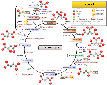 metabolic pathways diagram with cholesterol 7 pin trailer wiring diagram with brakes how is 36 atp produced in cellular respiration quora