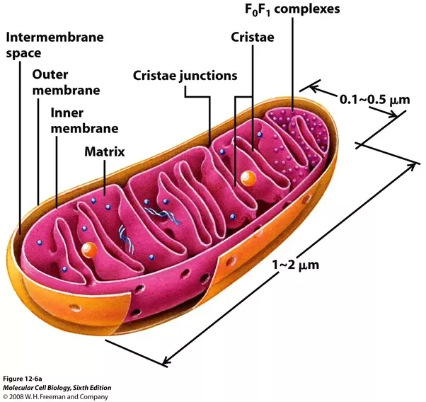 What Are The Similarities And Differences Between Chloroplasts And