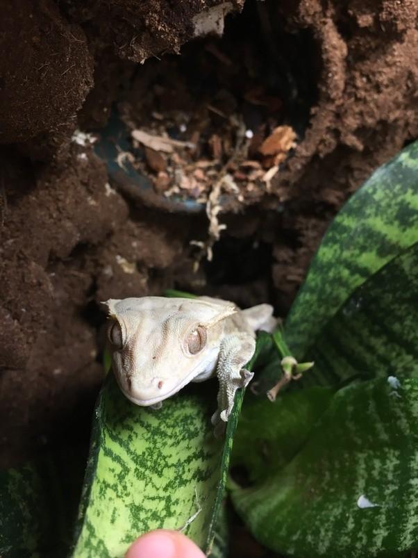 Where and how do crested geckos sleep? - Quora