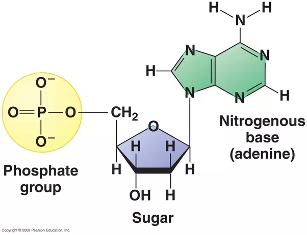 What Are The Three Components Of A Single Nucleotide Quora