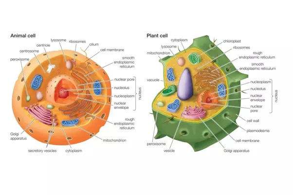 Where are the lysosomes located in animal cells quora ccuart Gallery