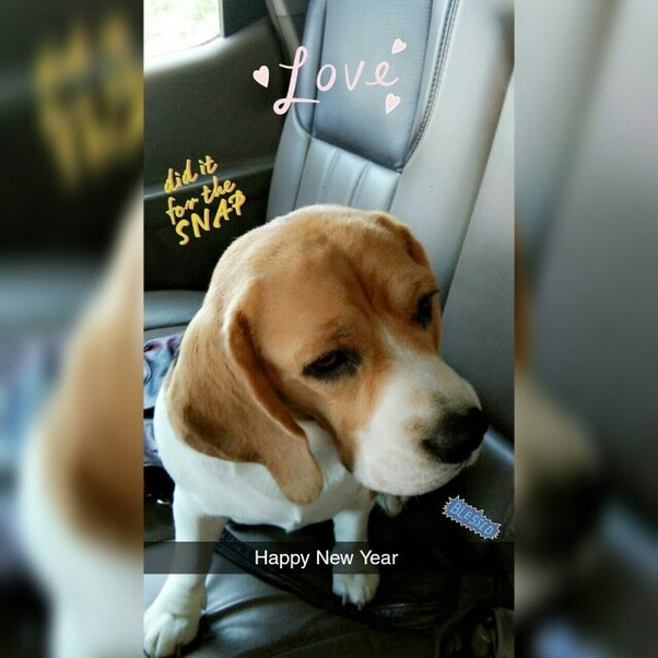 What Is The Price Of A Beagle In Kolkata Quora