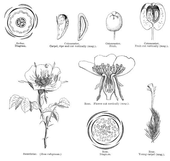 in the floral diagram of rose two whorls of petals are seen