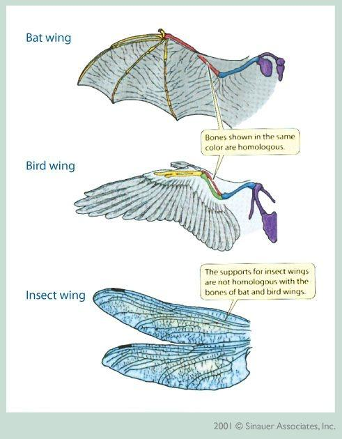 Why Cant The Wings Of An Insect Be Considered Homologous Quora
