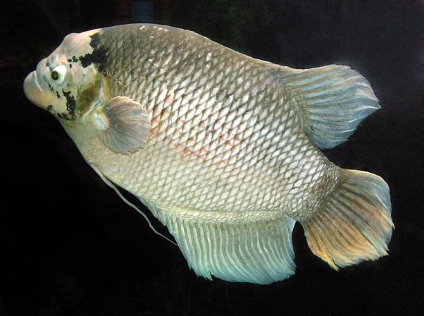 Apakah Ikan Gurame Sejenis Dengan Ikan Louhan Quora