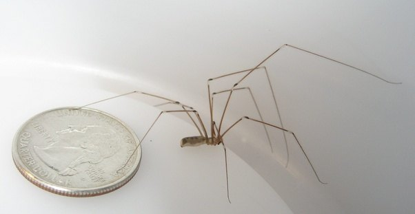 pholcus phalangioides how to get rid of