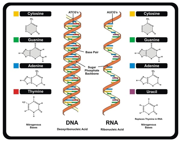 What Is The Full Form Of Dna And Atp