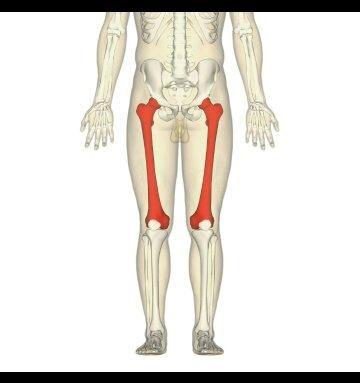 What Is The Longest Bone In The Body Quora