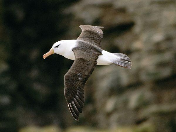 What Do Albatrosses Look Like Quora