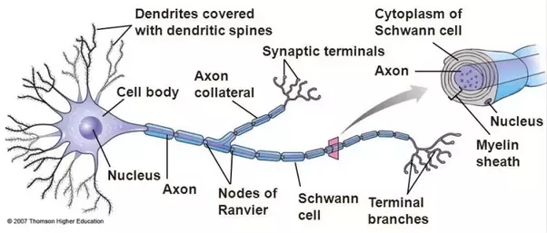 Image result for axon branches